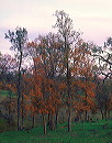 fall_oaks_at_twilight